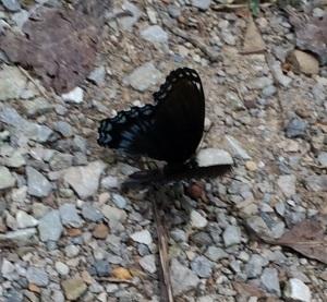 Woods  Blue Butterfly