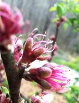 Peach Blossoms Close