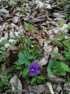 Woods Violet