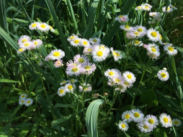 Fleabanes in grass