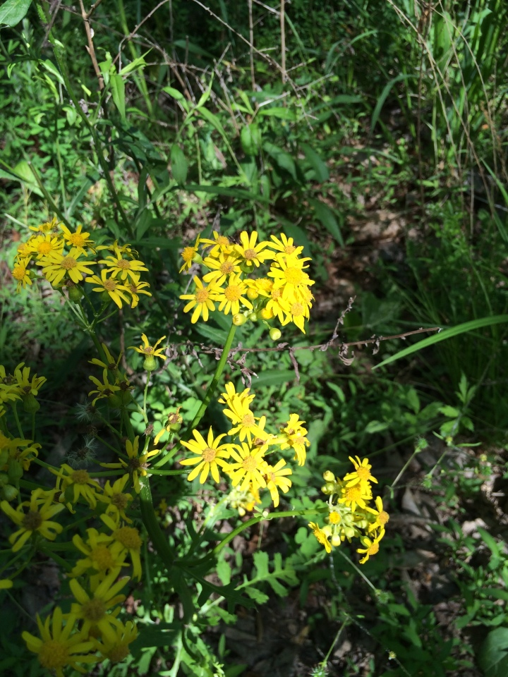 Yellow weed flowers