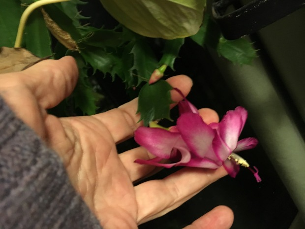 christmas-cactus-in-hand