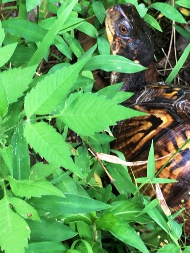 Turtle 007