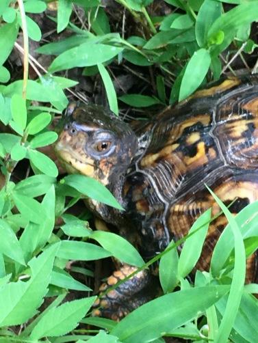Turtle 008